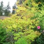 Autumn Moon Maple
