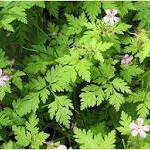 Geranium robertianum (Herb Robert, the thug)