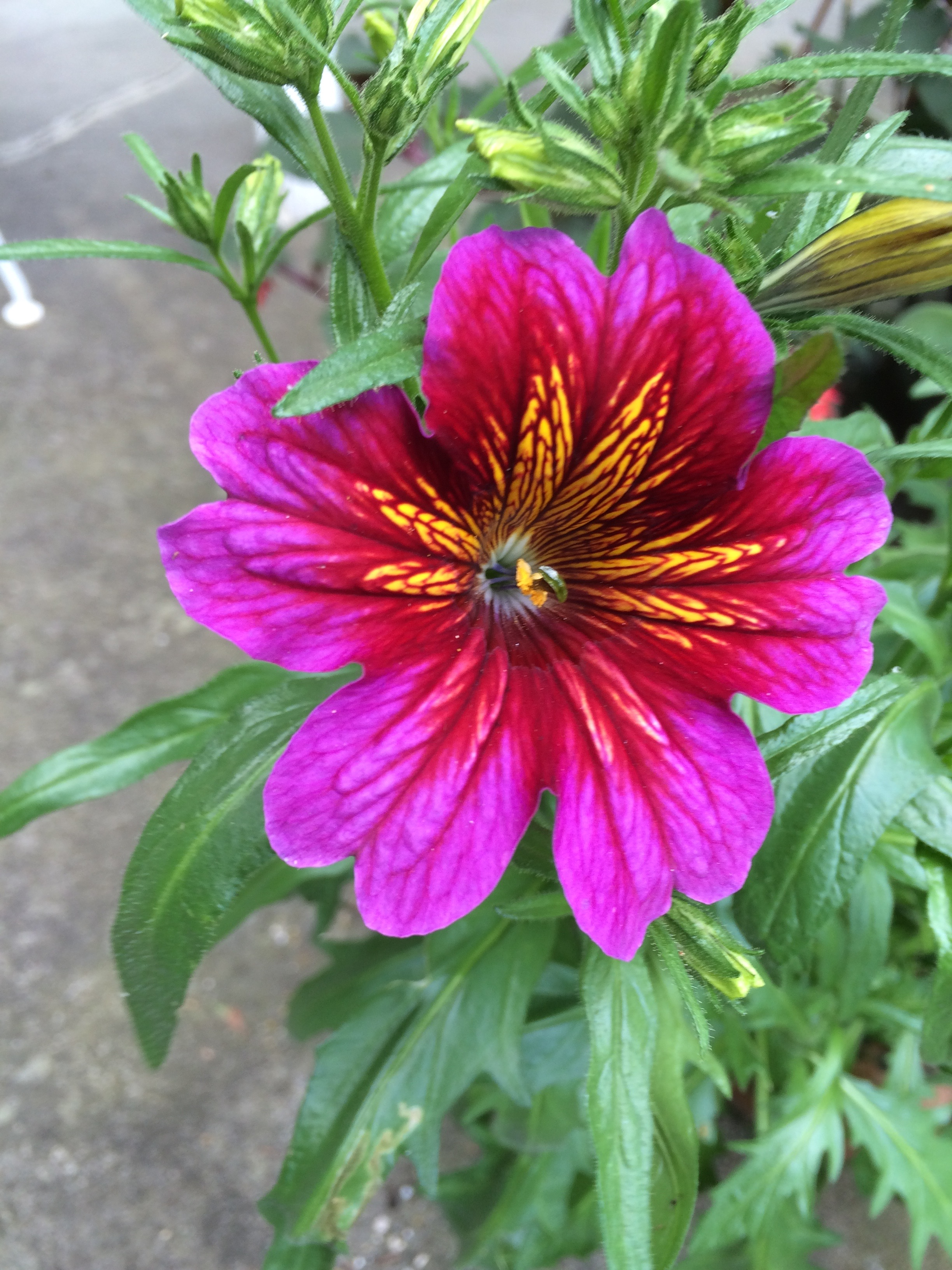 Part of the mix of Salpiglossis senate