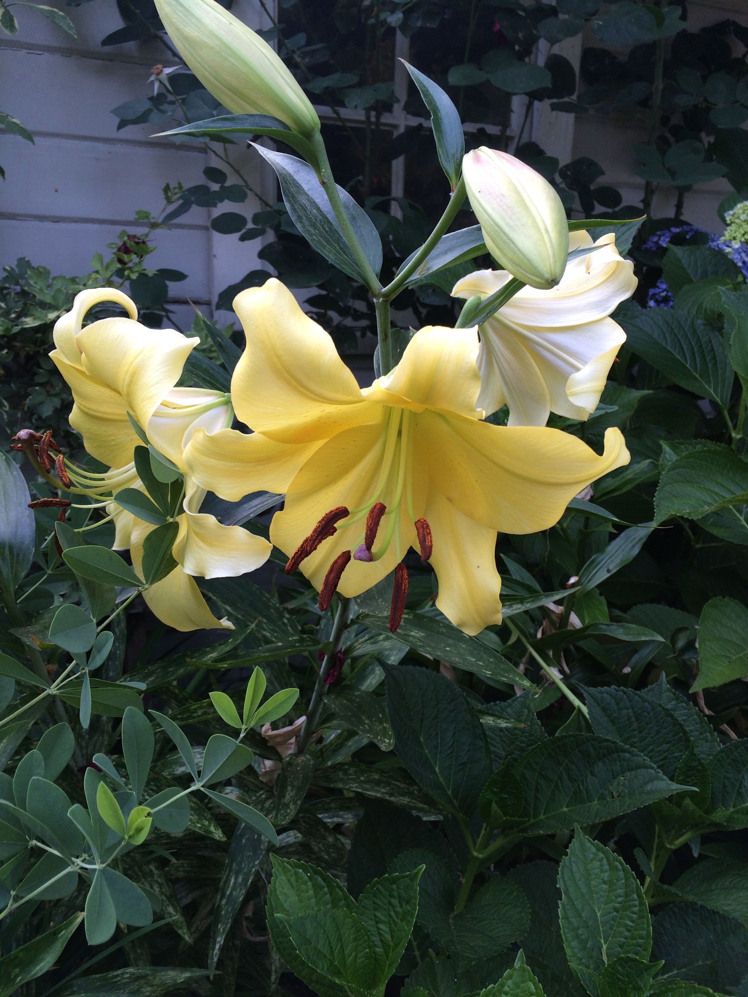 Oriental Lily 'Golden Splendor'